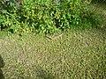 Varanus niloticus 0010.jpg