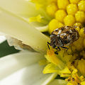 Varied Carpet Beetle (9293407966).jpg