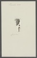 Vermilia rosea - - Print - Iconographia Zoologica - Special Collections University of Amsterdam - UBAINV0274 102 20 0024.tif