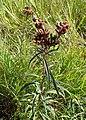 Vernonia fasciculata kz01.jpg