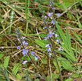 Veronica sp. - Flickr - S. Rae.jpg