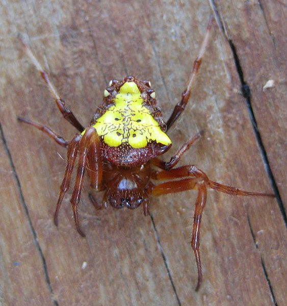 What Kind Of Spider Has A Yellow Triangle On Its Back And Two Horns