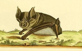 Greater horseshoe bat - Image: Vespertilio ferrumequinum