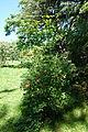Viburnum burejaeticum - Arnold Arboretum - DSC06823.JPG
