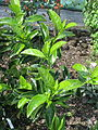 Viburnum japonicum (20430384669).jpg