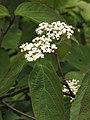 Viburnum setigerum Kalina herbaciana 2010-05-15 08.jpg