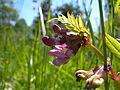 Vicia sepium extraflorale Nektarien 1.jpg