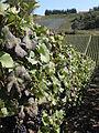 Vigne Pinot Noir (Festigny) Cl.J.Weber14 (23569175092).jpg