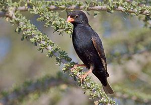 Village indigobird - Male of the red-billed race V. c. subsp. amauropteryx, in Mapungubwe N. P.