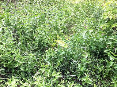 Vincetoxicum rossicum SCA-0540.jpg