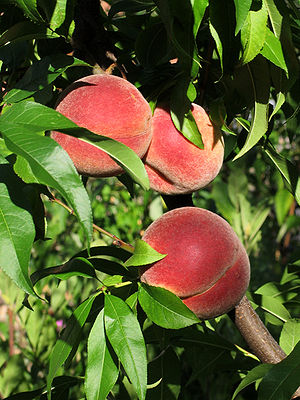 Zapotlán el Grande - Peaches known to the high and colder areas of Zapotlán