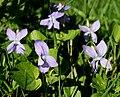 Viola reichenbachiana 20.04.18 pl1.jpg