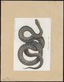 Vipera berus - 1700-1880 - Print - Iconographia Zoologica - Special Collections University of Amsterdam - UBA01 IZ11700159.tif