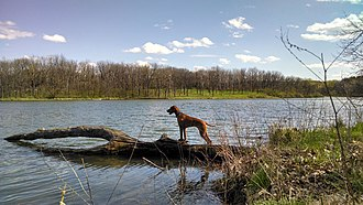 Johnson-Sauk Trail State Recreation Area - Image: Vizsla Dog At Johnson Sauk Trail Lake