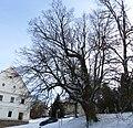 Vranov u Brna, chráněný strom (2).JPG
