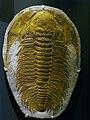 WLA hmns Trilobite Acadoparadoxides briareus.jpg