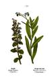 WWB-0053-021-Ajuga reptans-Myosotis palustris.png