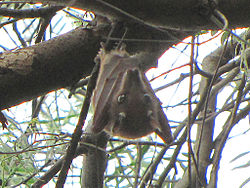 Wahlberg's Epauletted Fruit Bat.jpg