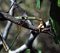 Walkingstick, Male & Female Mating (251115672).jpg