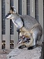 Wallabia bicolor with joey in pouch 02.JPG