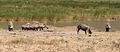 Warthogs, Ngorongoro.jpg