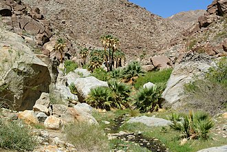 Washingtonia filifera - W. filifera trees and fronds in Anza-Borrego Desert State Park