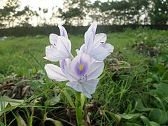 Water hyacinth flower in the field.jpg