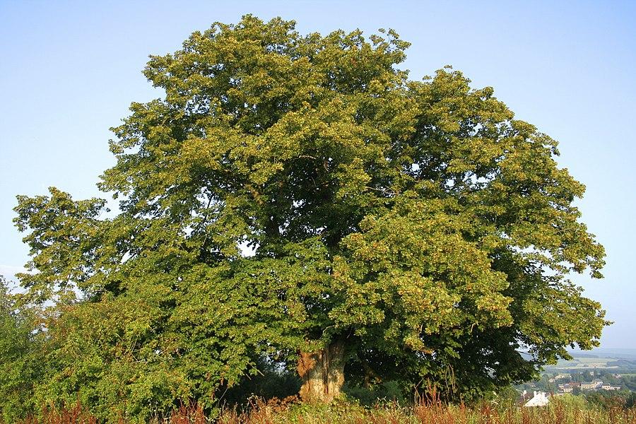 """Wavreille, le vieux tilleul à grandes feuilles Tilia platyphyllos dit """"Tyou dol tchapèle"""" s'élevant ou s'étendait autrefois le village de Biètrenne décimé par la peste au XVIIe siècle."""