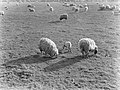 Weiland met schapen en lammetjes, Bestanddeelnr 189-1163.jpg