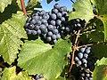 Weintrauben im Bezirk Mödling.jpg