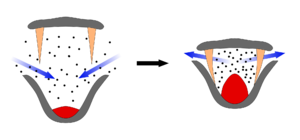 Aetiocetus - Schematic of the bulk feeding method employed by modern mysticetes. It is plausible that Aetiocetus used a variation of this method using a combination of baleen and teeth.
