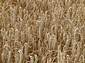 Wheat-8844.jpg