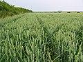 Wheat Field at TA09596971 - geograph.org.uk - 195410.jpg