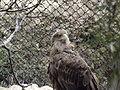 White-tailed Eagle 02.jpg