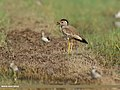 White-tailed Lapwing (Vanellus leucurus) & Red-wattled Lapwing (Vanellus indicus) (32827855561).jpg