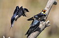 White-throated Swallow, Hirundo albigularis at Marievale Nature Reserve, Gauteng, South Africa. Sequence of two juveniles being fed on the fly by their parents. (15445503507).jpg