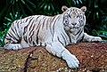 White-tiger-2407799 1280.jpg