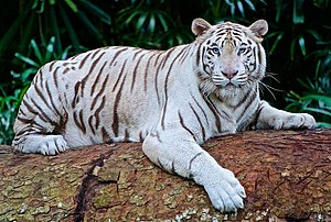White tiger - A white Bengal tiger