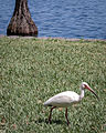 White Ibis at Lake Eola Park.jpg