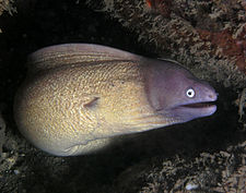 White eyed moray eel.jpg