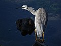 White faced heron (Ardea novaehollandiae) (11415810584).jpg
