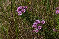 Wild Purple Fleabane PLT-FL-DS-FB-4.jpg