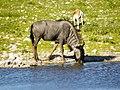 Wildebeest (6521916761).jpg