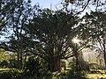 Wildevy op wynlandgoed Saronsberg, Wes-Kaap.jpg