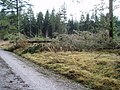 Windthrown trees in Clocaenog Forest - geograph.org.uk - 322210.jpg
