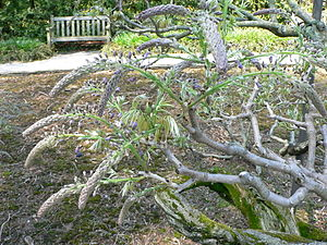 Wisteria floribunda - Image: Wisteria floribunda 3