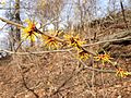 Witch hazel (24729938083).jpg