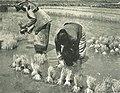 Women working in rice paddies, Wanita di Indonesia p88 (Stoomvart mij Nederland).jpg