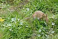 Wood Mouse (Apodemus sylvaticus), Baltasound - geograph.org.uk - 1822318.jpg