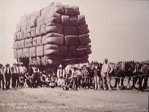 Australian Draught horse - A team of Australian draught horses with a record load of 150 bales of wool